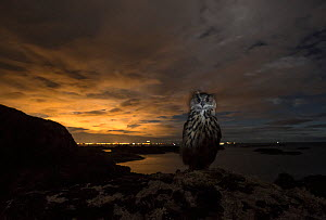 Eurasian eagle-owl (Bubo bubo) in front of lights from Stavanger at sunset, Southern Norway, September.  -  Pal Hermansen