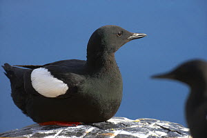 Black guillemot (Cepphus grylle) Iceland, July.  -  Pal Hermansen