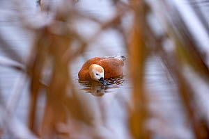 Ruddy shelduck (Tadorna ferruginea) feeding, Norway, December.  -  Pal Hermansen