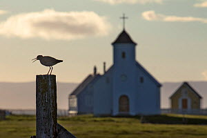 Redshank (Tringa totanus) on post with traditional church in the background, Flatey, Iceland, June.  -  Pal Hermansen