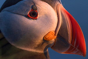 Puffin (Fratercula arctica) close up portrait, Iceland, June. - Pal Hermansen