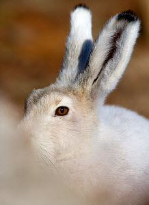 Arctic hare (Lepus arcticus) close up of eyes and ears. Ellesmere Island,  Nunavut, Canada, August.  -  Pal Hermansen