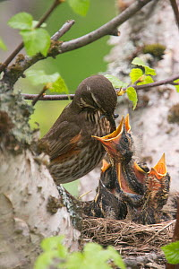 Redwing (Turdus iliacus) feeding nestlings, Iceland, June. - Pal Hermansen