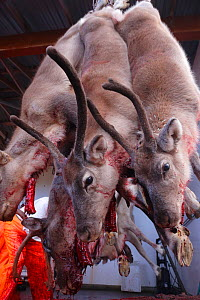 Domestic Reindeers (Rangifer tarandus) culled, hanging with windpipes cut and hanging out. Oppland Norway, September.  -  Pal Hermansen