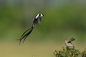 Pintailed whydah (Vidua macroura)  male displaying to female, Masai Mara, Kenya. - Lou Coetzer