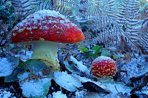 Fly agaric mushrooms (Amanita muscaria) in snow,  Los Alcornocales Natural Park, Cortes de la Frontera, southern Spain, January. - Andres M. Dominguez