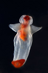 Naked sea butterfly (Clione limacina) against black background.  -  Pal Hermansen