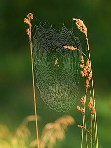 Garden cross spider (Araneus diadematus) on web, Norway. - Pal Hermansen