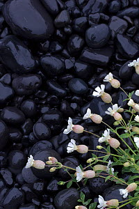 Sea campion (Silene uniflora) white flowers against black volcanic rocks, Snaefellsnes, Iceland, June  -  Pal Hermansen