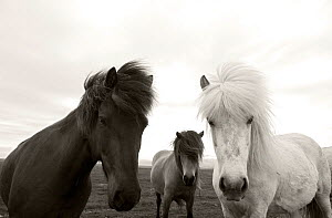 Group of Icelandic horses, Hofn, Iceland, June.  -  Pal Hermansen