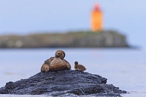 Eider duck (Somateria mollissima) with chicks on rock above sea near coast, Flatey, Iceland June  -  Pal Hermansen