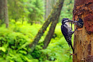 Three-toed woodpecker (Picoides tridactylus) feeding chick at nest, Hedmark, Norway July - Pal Hermansen
