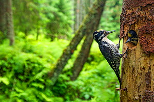 Three-toed woodpecker (Picoides tridactylus) adult at nest with young, Hedmark, Norway July - Pal Hermansen