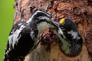 Three-toed woodpecker (Picoides tridactylus) adult feeding young at nest, Hedmark, Norway July - Pal Hermansen