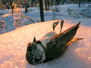 Crested tit (Parus cristatus) died during cold winter night, Akershus Norway - Pal Hermansen