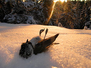Crested tit (Parus cristatus) died in strong winter cold, Akershus, Norway - Pal Hermansen