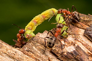 Wood Ants (Formica rufa) carrying caterpillar back to their nest for the colony to eat. Nordtirol, Austrian Alps. July.  -  Alex  Hyde
