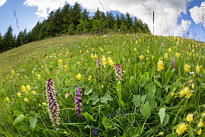 Burnt / Burnt-tip Orchid (Orchis ustulata), Fragrant Orchid (Gymnadenia conopsea) and Yellow Rattle (Rhinanthus sp.) flowering in ancient alpine meadow. Nordtirol, Austrian Alps. June.  -  Alex  Hyde