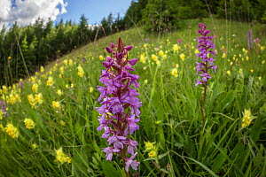 Fragrant Orchid (Gymnadenia conopsea) and Yellow Rattle (Rhinanthus sp.) flowering in ancient alpine hay meadow. Nordtirol, Austrian Alps. June. - Alex  Hyde