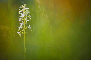 Lesser Butterfly Orchid (Platanthera bifolia) surrounded by Fragrant Orchids (Gymnadenia conopsea) Nordtirol, Austrian Alps. June. - Alex  Hyde