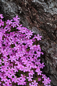 Tumbling Ted / Rock Soapwort (Saponaria ocymoides) growing at the edge of a pine forest. Nordtirol, Austrian Alps. June.  -  Alex  Hyde