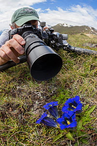 Photographer focusing on a Trumpet / Stemless Gentian (Gentiana acaulis) Nordtirol, Austrian Alps. June. - Alex  Hyde