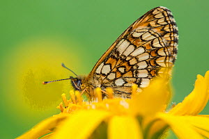 Heath Fritillary (Melitaea athalia) on Mountain Arnica (Arnica montana). Nordtirol, Austrian Alps. June.  -  Alex  Hyde