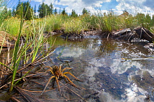 Raft Spider (Dolomedes fimbriatus) female resting on the surface of a moorland pool, photographed with a fisheye lens to show surrounding habitat. Nordtirol, Austrian Alps, June. - Alex  Hyde