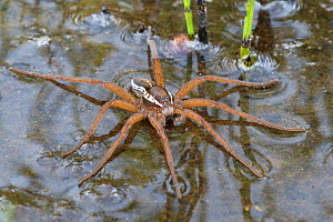 Raft Spider (Dolomedes fimbriatus) male resting on the surface of a moorland pool. Nordtirol, Austrian Alps, June. - Alex  Hyde
