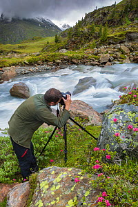 Photographer in mountain landscape with blooming Alpenrose (Rhododendron ferrugineum), Kaunertal Naturpark, Nordtirol, Austrian Alps. July. - Alex  Hyde