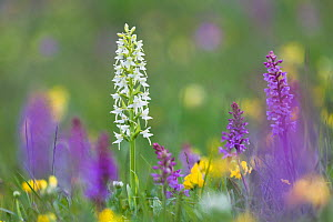 Lesser Butterfly Orchid (Platanthera bifolia) surrounded by Fragrant Orchids (Gymnadenia conopsea) in ancient alpine meadow. Nordtirol, Austrian Alps. June. - Alex  Hyde