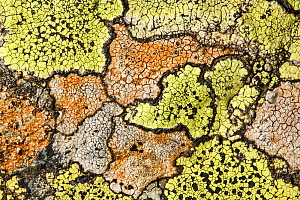 Map lichen (Rhizocarpon geographicum) growing on schist boulder. Nordtirol, Austrian Alps, 2250 metres above sea level. August.  -  Alex  Hyde