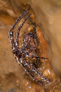 European Cave Spider (Meta menardi) covered in water droplets in a limestone cave. Peak District National Park, Derbyshire, UK. January.  -  Alex  Hyde