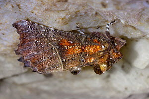 Herald Moth (Scoliopteryx libatrix) covered in water droplets, hibernating in a limestone cave. Peak District National Park, Derbyshire, UK. October. - Alex  Hyde