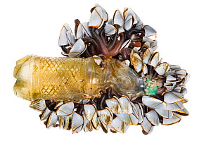Pelagic Gooseneck Barnacle / Smooth Gooseneck Barnacle colony (Lepas anatifera) attached to plastic bottel washed up on a beach following heavy storms. This species is found attached to flotsam floati... - Alex  Hyde