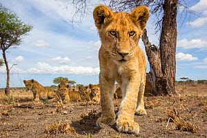 Lion (Panthera leo) young cub stood looking out intently while small group of young sit on the ground behind. Taken with a remote camera. Serengeti National Park, Tanzania. December  -  Will Burrard-Lucas