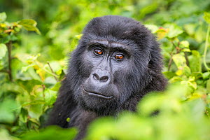 Mountain gorilla (Gorilla beringei beringei) close up head portrait of adult. Bwindi Impenetrable National Park, Uganda. November  -  Will Burrard-Lucas