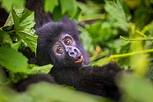 Mountain gorilla (Gorilla beringei beringei) baby peering through a clearing in the leaves. Bwindi Impenetrable National Park, Uganda. November  -  Will Burrard-Lucas