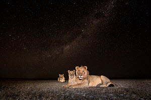 Lion (Panthera leo) young male and two females lying on the plains under a starry sky, taken with remote camera. Liuwa Plain National Park, Zambia. May  -  Will Burrard-Lucas