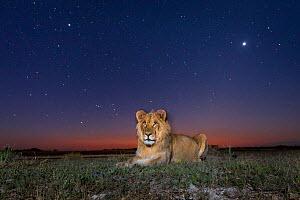 Lion (Panthera leo) sat under a starry sky, taken with a remote camea. Liuwa Plain National Park, Zambia. May  -  Will Burrard-Lucas