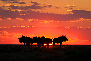 Blue wildebeest (Connochaetes taurinus), silhouetted against the sunset. Liuwa Plain National Park, Zambia. May  -  Will Burrard-Lucas