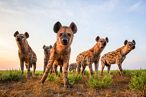 Spotted hyena (Crocuta crocuta) low angle shot of group taken with remote camera. Liuwa Plain National Park, Zambia. May  -  Will Burrard-Lucas