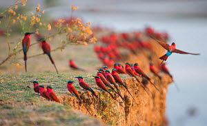Southern carmine bee-eater (Merops nubicoides) flock perched on cliff edge. South Luangwa, Zambia. October  -  Will Burrard-Lucas