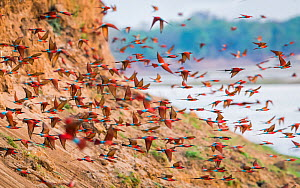 Southern carmine bee-eater (Merops nubicoides) flock flying from river cliff. South Luangwa, Zambia. October  -  Will Burrard-Lucas