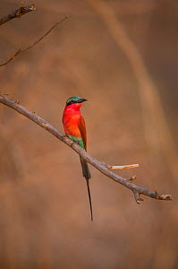 Southern carmine bee-eater (Merops nubicoides) perched on branch. South Luangwa, Zambia. October  -  Will Burrard-Lucas