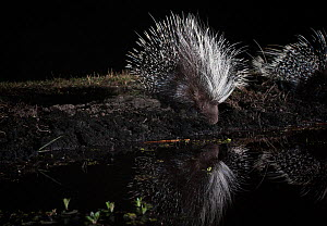 Porcupine, (Hystrix africaeaustralis) drinking from pool, taken with remote camera. Liuwa Plain National Park, Zambia. November  -  Will Burrard-Lucas