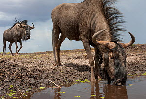 Blue wildebeest (Connochaetes taurinus), drinking from pool, taken with remote camera. Liuwa Plain National Park, Zambia. November  -  Will Burrard-Lucas
