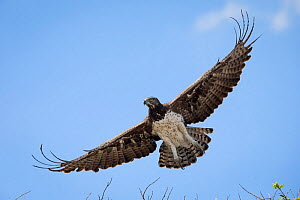 Martial eagle (Polemaetus bellicosus) soaring with open wings.  Liuwa Plain National Park, Zambia. November  -  Will Burrard-Lucas