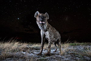 Spotted hyena (Crocuta crocuta) at night, taken with remote camera. Liuwa Plain National Park, Zambia. December  -  Will Burrard-Lucas