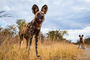 African wild dog (Lycaon pictus) standing in the grass, taken with remote camera. Hwange National Park, Zimbabwe. July  -  Will Burrard-Lucas
